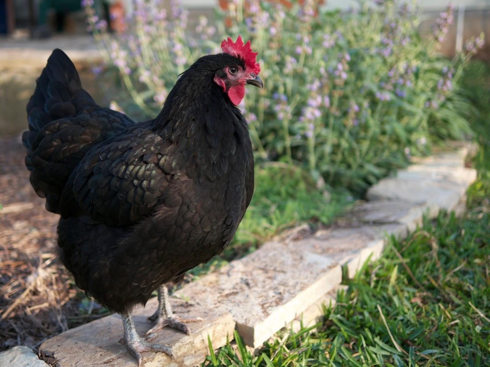 best egg laying chickens for a beginner backyard farmer from
